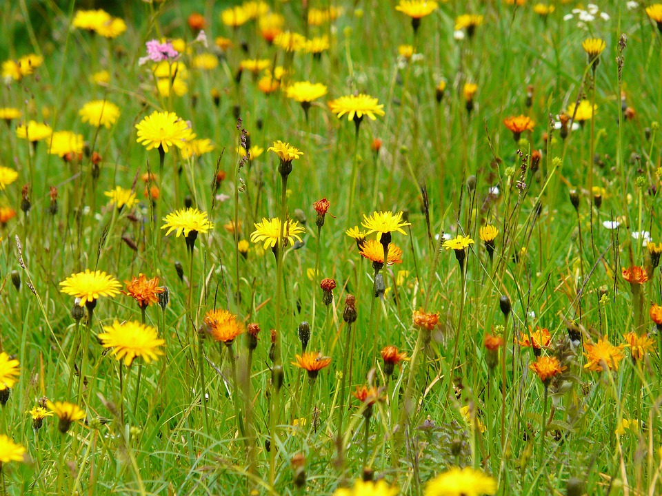Meadow, Wildflowers, Pointed Flower, Plant, Garden