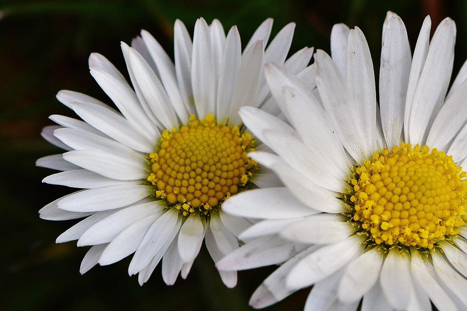 Spring Meadow, Wildflowers, Daisy, Flowers, Spring
