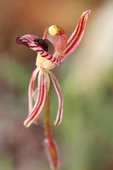 Zebra Orchid, Orchids, Wildflowers, Western Australia