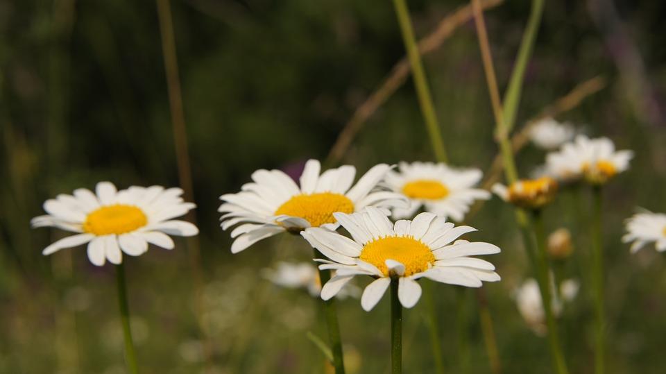 Chamomile, Wildflowers, Flower, White, White Flowers