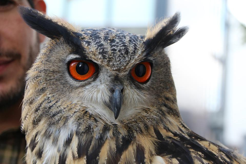Eagle Owl, Owl, Wildfowl, Head, Bird, Animal World