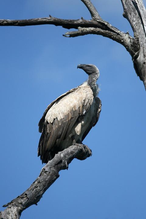 Vulture, Wildlife, Bird, Scavenger, Feathers, Africa