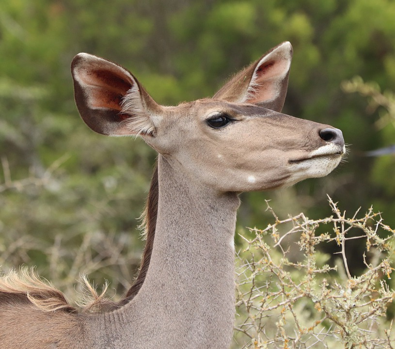 Kudu, Doe, African Kudu, Female Kudu, Wildlife, Nature
