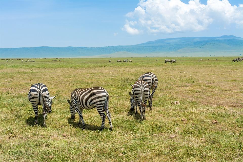 Zebra, Safari, Africa, Animal, Wildlife, Nature
