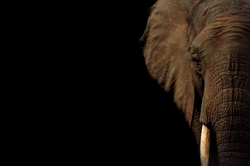 Elephant, Animal, Wildlife, Tusk, Mammal, Wild Animal