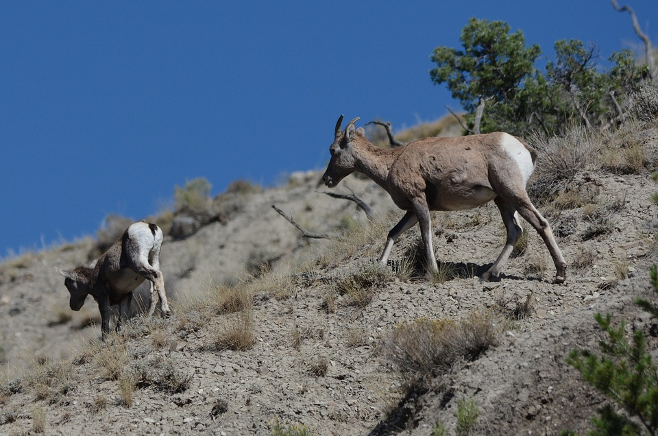 Goat, Mountain Goat, Animal, Nature, Wildlife, Cliff