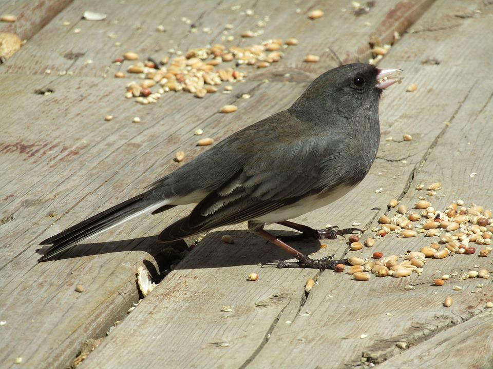 Bird, Nature, Wildlife, Animal, Outdoors, Junco, Cute