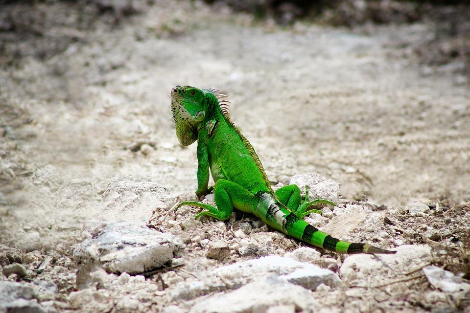 Iguana, Nature, Wildlife, Animal, Wild, Reptile, Lizard