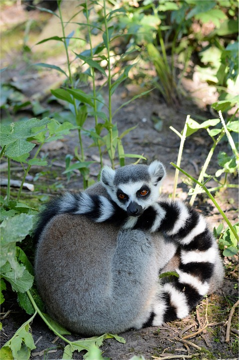 Apes, Ring-tailed, Lemur, Animal, Wildlife, Wild