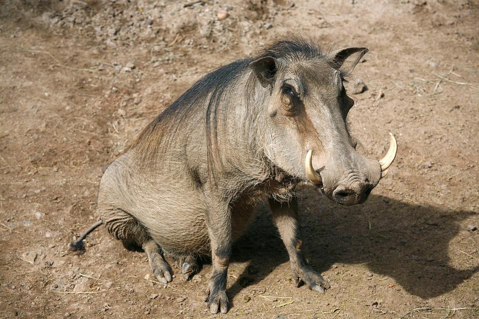 Animal, Mammal, Wildlife, Nature, Warthog, Hog, Tusk