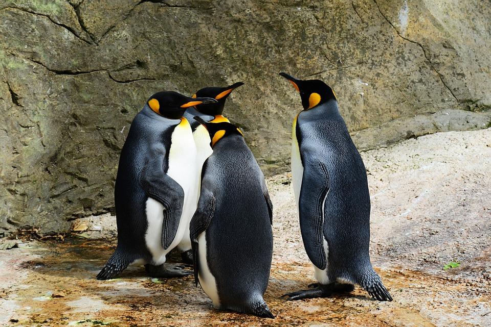 King Penguins, Birds, Animals, Penguins, Wildlife