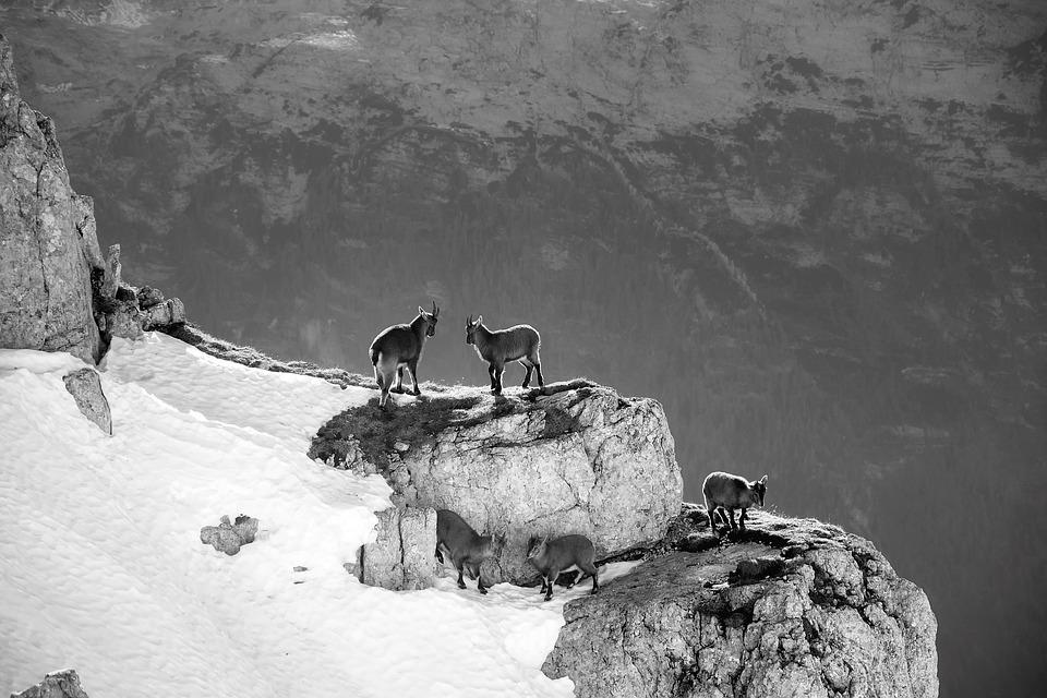 Mountains, Mountain Goats, Slovenia, Animals, Wildlife