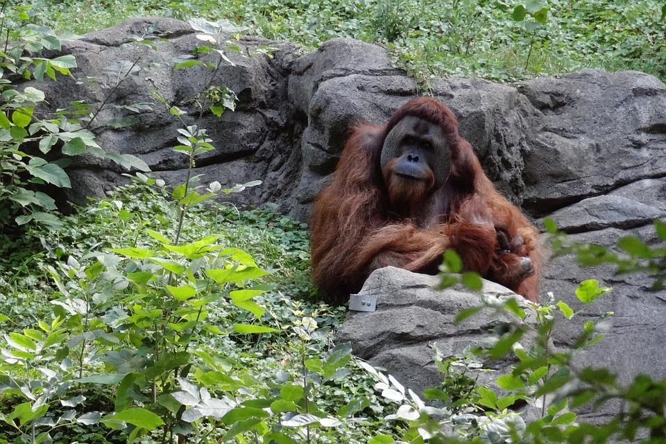 Orangutan, Ape, Monkey, Primate, Mammal, Zoo, Wildlife