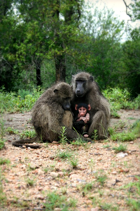 Africa, South Africa, Wildlife, Baboon, Baboon Family