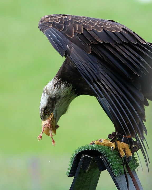 Bald Eagle, Eagle, Bird, Nature, Raptor, Wildlife