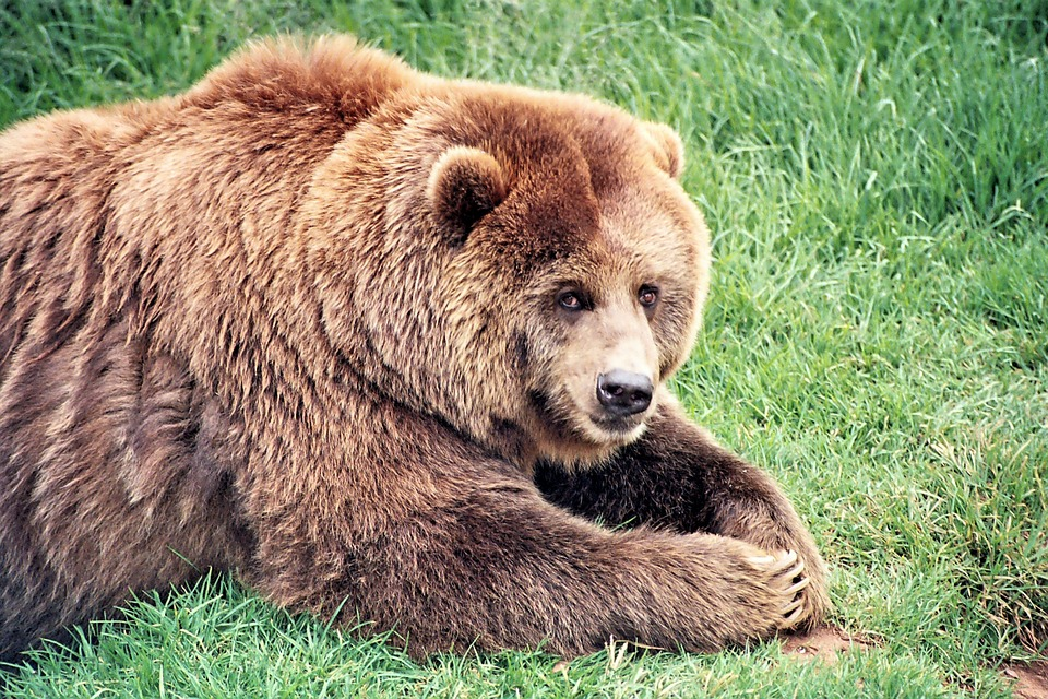 Brown Bear, Bears, Mammal, Brown, Wildlife, Grizzly