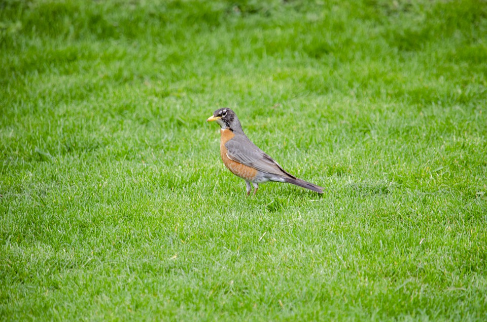 American Robin, Bird, Lawn, Songbird, Animal, Wildlife