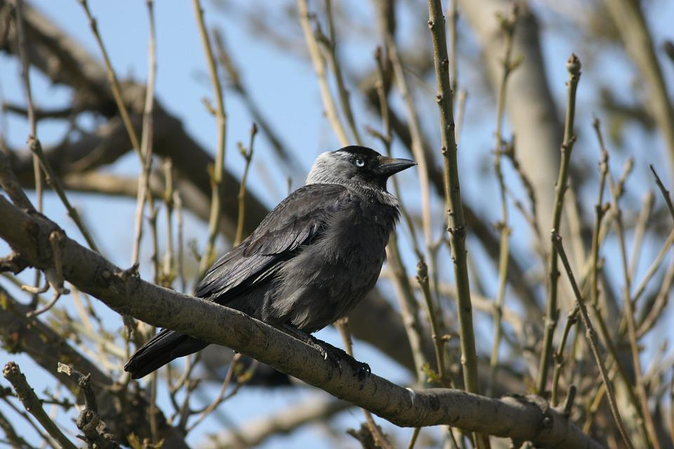 Bird, Crow, Jackdaw, Nature, Wildlife, Beak, Wild