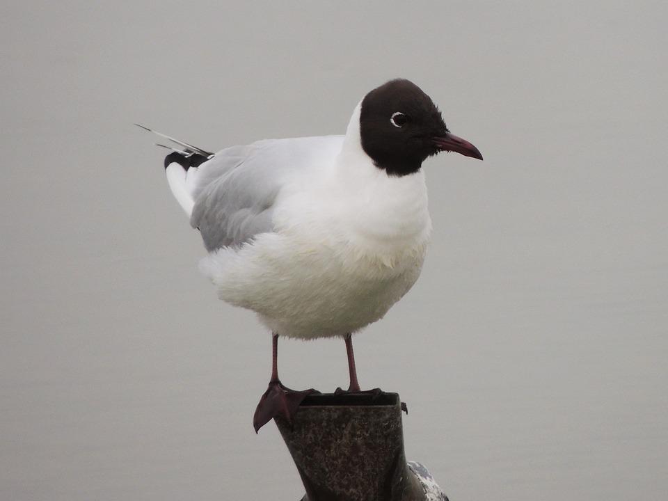 Bonaparte's Gull, Gull, Bird, Wildlife, Avian, Seagull