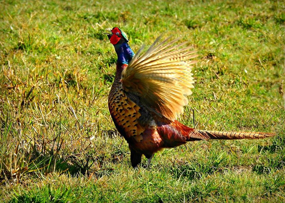 Pheasant, Bird, Animal, Male, Wildlife, Flapping Wing