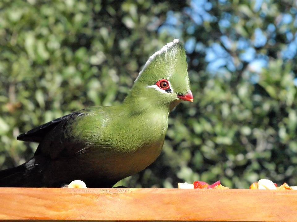 Bird, Green, Knysna Lourie, Wildlife, Colorful