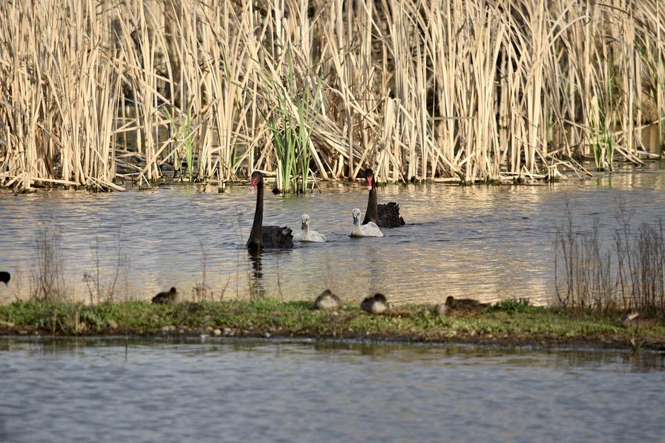 Black Swans, Cygnets, Bird, Nature, Lake, Wildlife