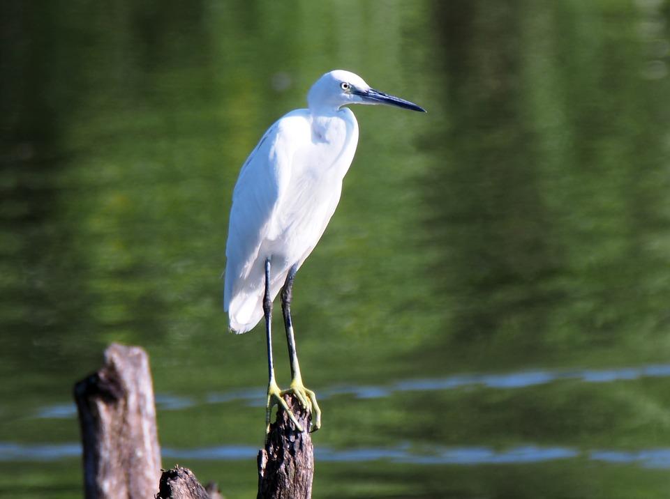 Little Egret, Perch, Wild, Bird, Wildlife, Nature