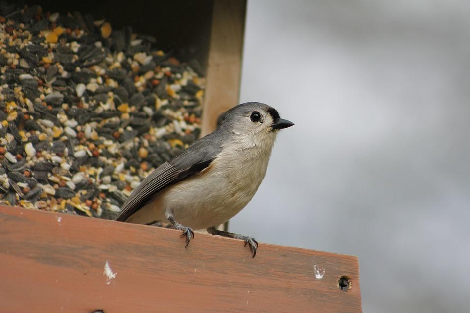 Bird, Outdoors, Nature, Wildlife, Titmouse, Wild