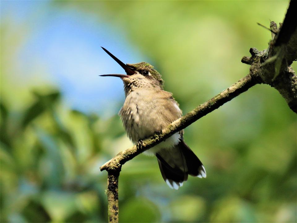 Bird, Hummingbird, Open Beak, Wildlife, Unusual
