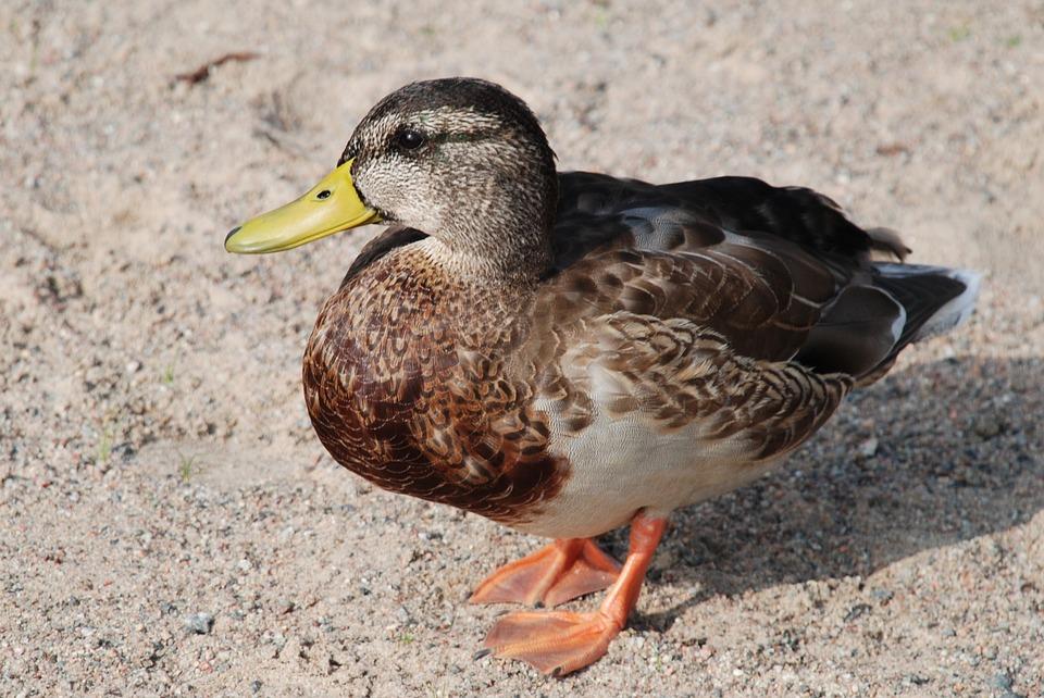 Duck, Birds, Water, Wildlife, Waterfowl, Mallard
