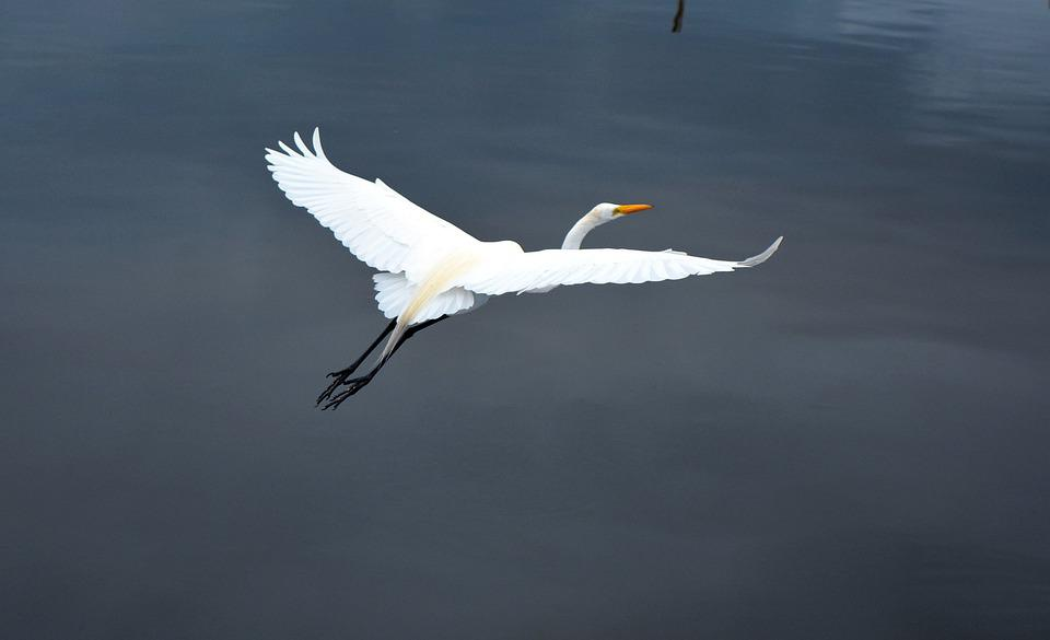 Birds, Nature, Wildlife, Body Of Water, Animalia, Heron