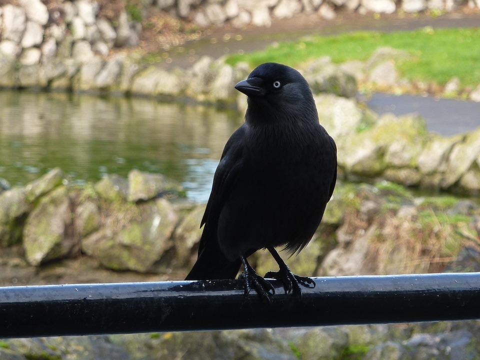 Jackdaw, Bird, Black, Wildlife, Birdwatching, Feathers