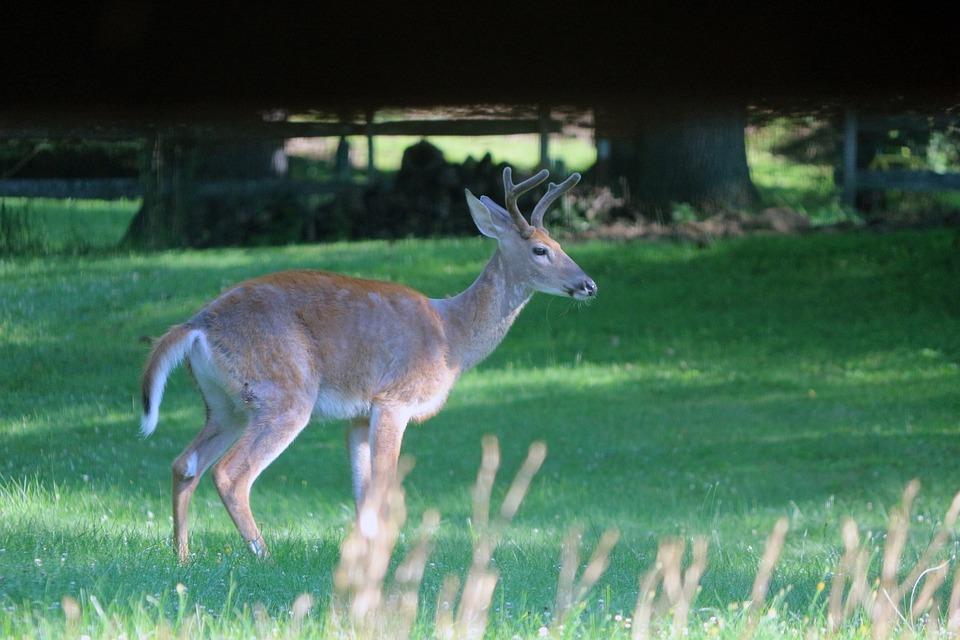 Buck, Deer, Nature, Wildlife, Antlers, Wild, Hunting