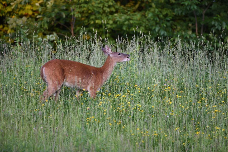 Deer, Doe, Stag, Buck, Wildlife, Nature, Woods