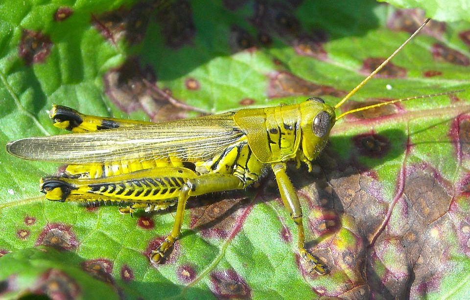 Grasshopper, Insect, Bug, Wildlife, Wild, Green, Nature