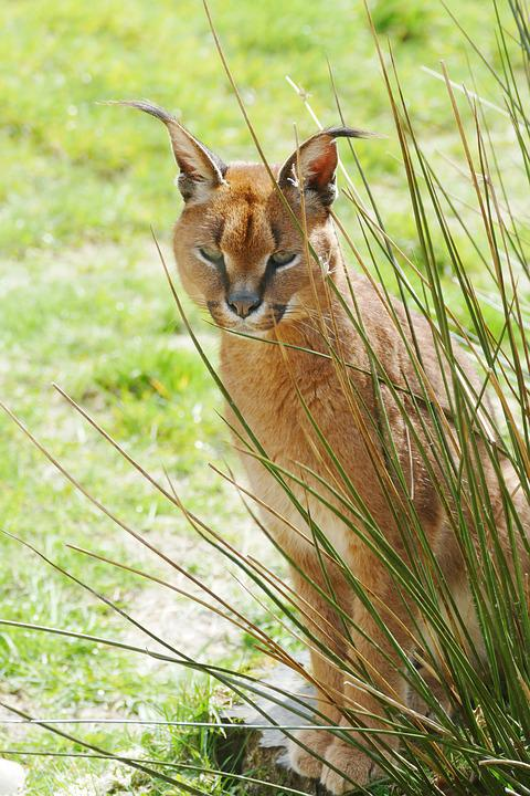 Caracal, Cat, Wild, Wildlife, Animal, Mammal, Feline