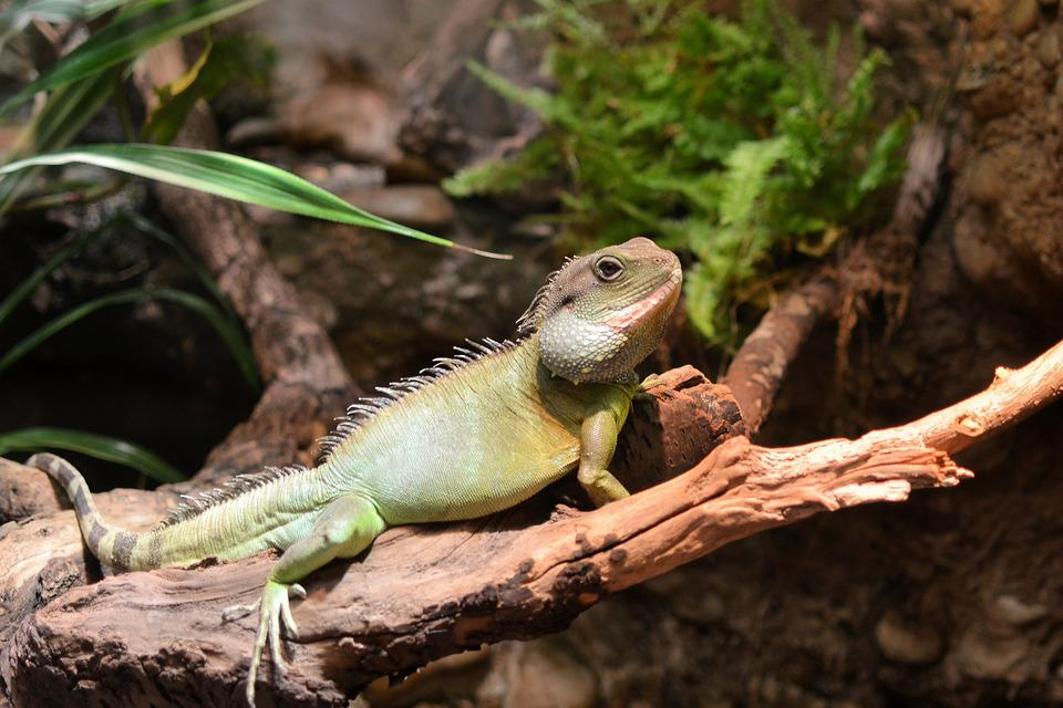 Chameleon, Animal, Wildlife
