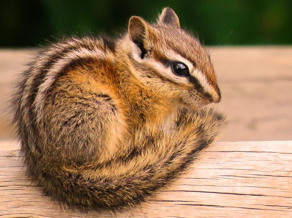 Chipmunk, Wildlife, Cute, Rodent, Adorable