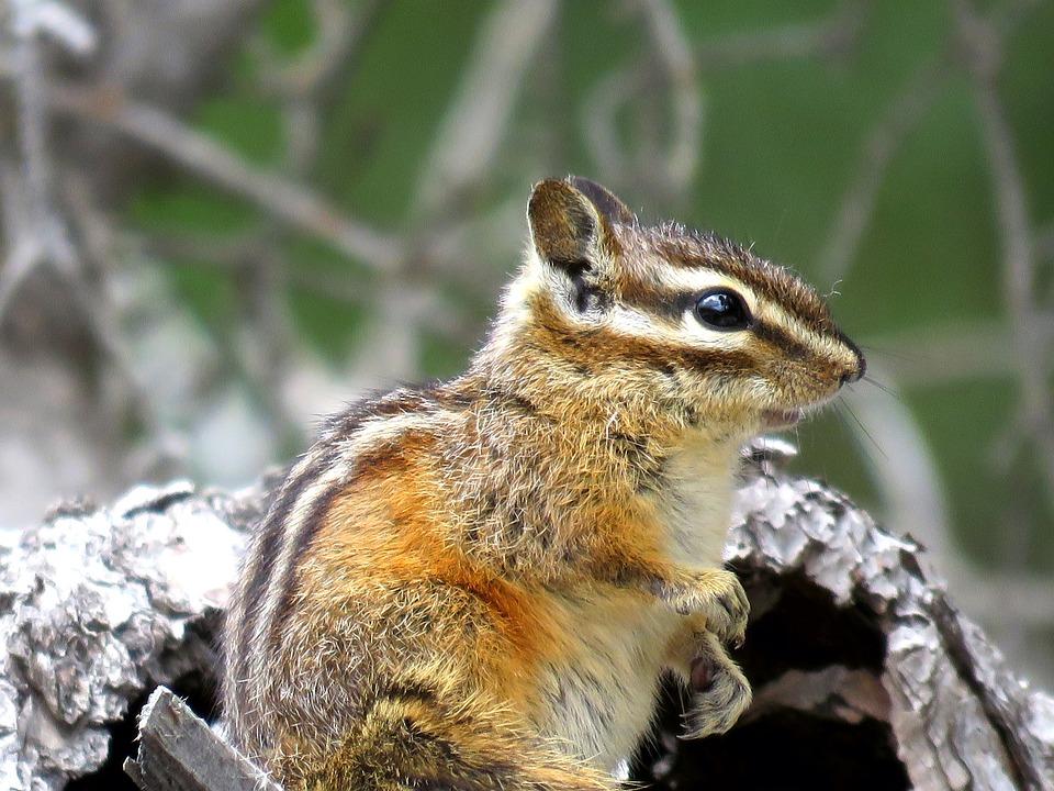 Chipmunk, Wildlife, Nature, Cute