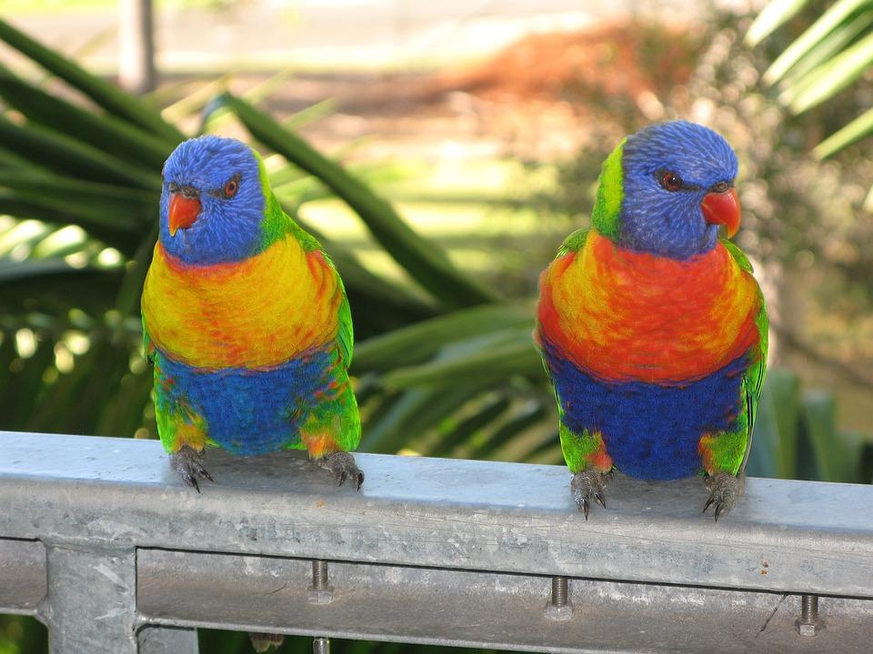 Rainbow Lorikeet, Bird, Lorikeet, Colorful, Wildlife