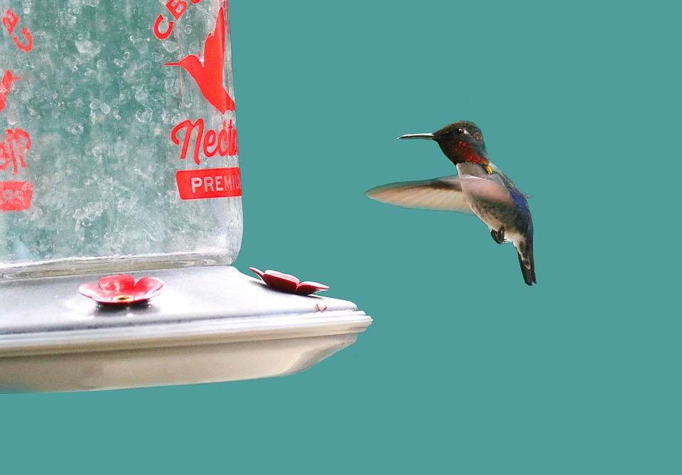 Cuba, Hummingbird, Feeder, Nectar, Nature, Wildlife