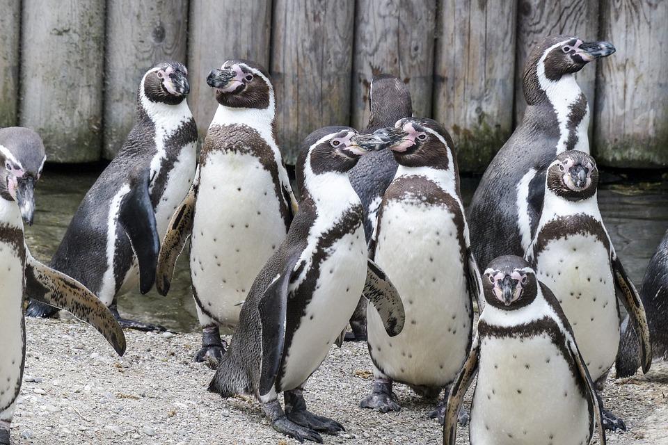 Humboldt Penguins, Penguins, Animals, Cute, Wildlife