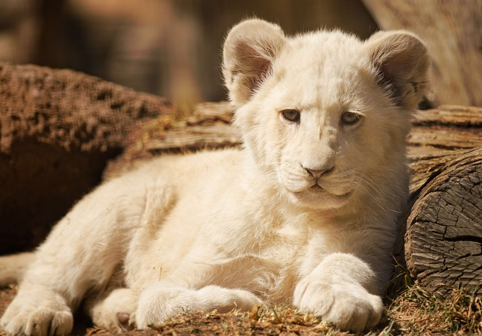 Cub, Lion, White, Sulk, Cute, Wild Animal, Wildlife