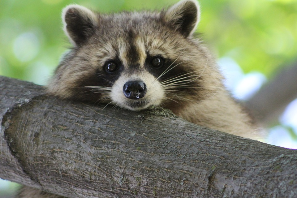 Raccoon, Cute, Animal, Wildlife, Nature