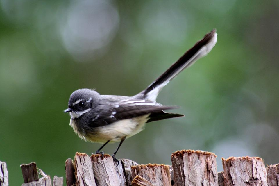 Grey Fantail, Bird, Perched, Wildlife, Backyard, Cute