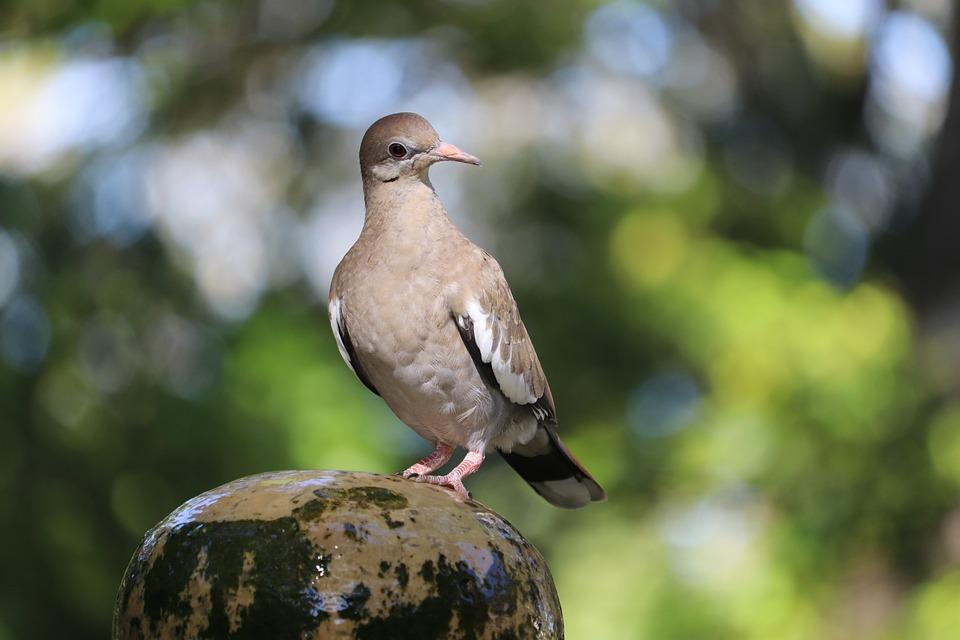 Dove, Pigeon, Bird, Fountain, Perched, Animal, Wildlife