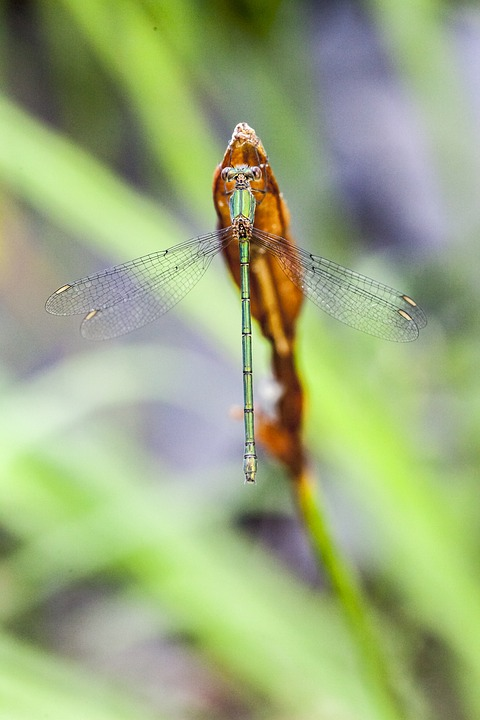 Damselfly, Dragonfly, Insect, Green, Wildlife, Macro