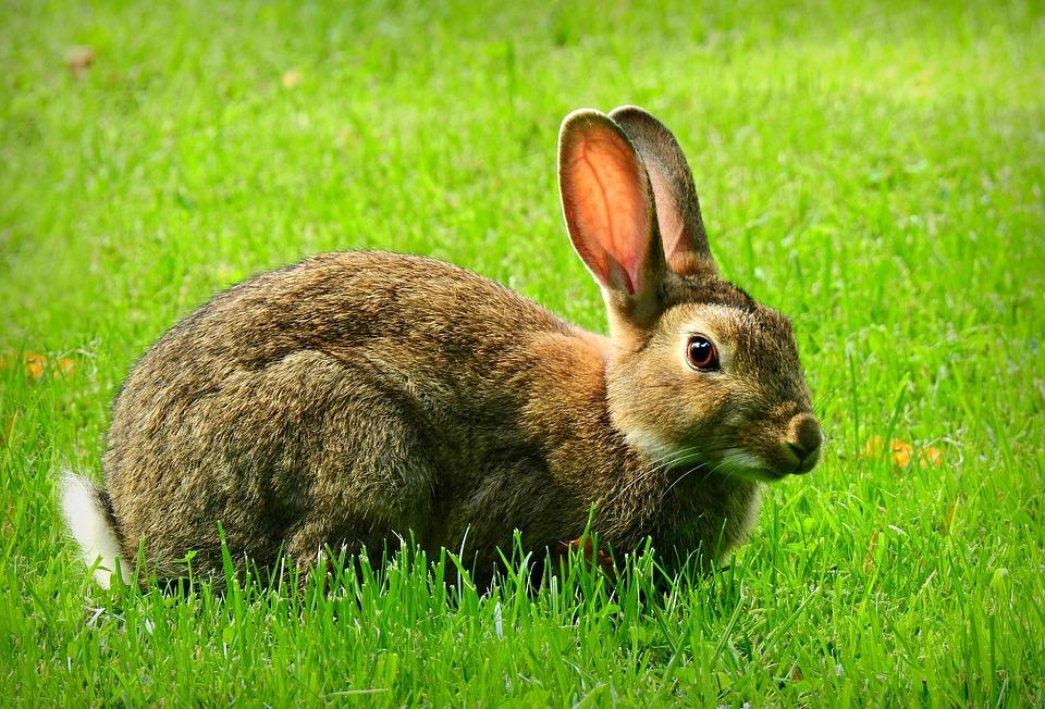 Rabbit, Animal, Mammal, Wildlife, Ears, Fur