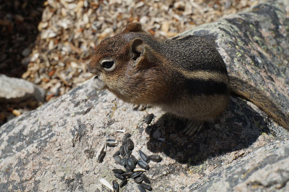 Chipmunk, Chubby, Eating, Wildlife, Rodent, Cute