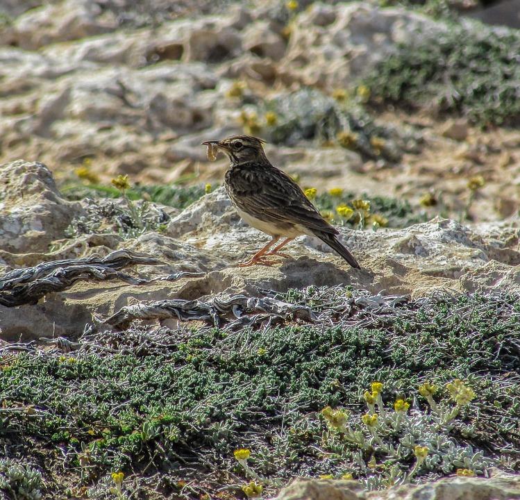 Lark, Bird, Eating, Wildlife, Nature, Fauna